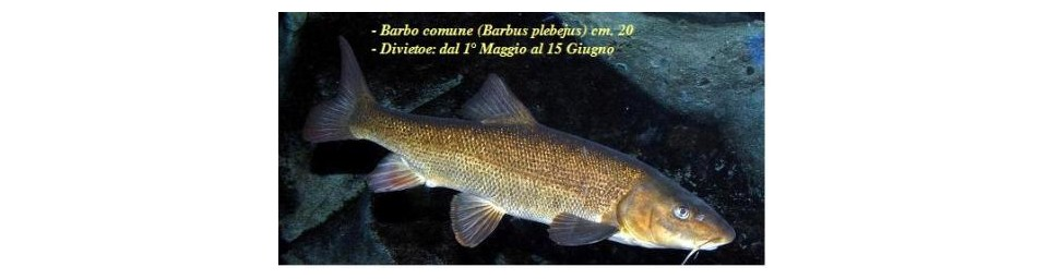barbio-cyprinidae-barbus-plebejus.jpg