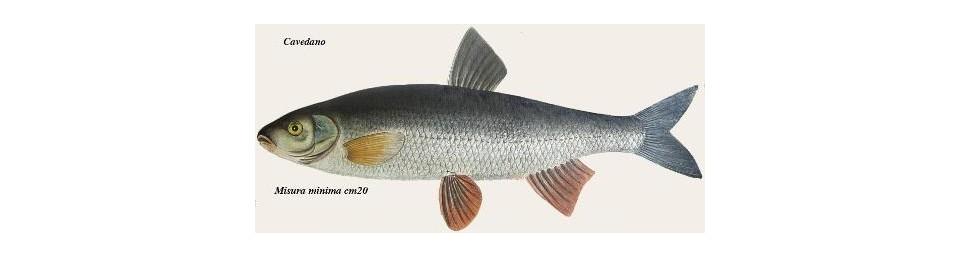 cavedanosqualius-cephalus-prague-vltava.jpg