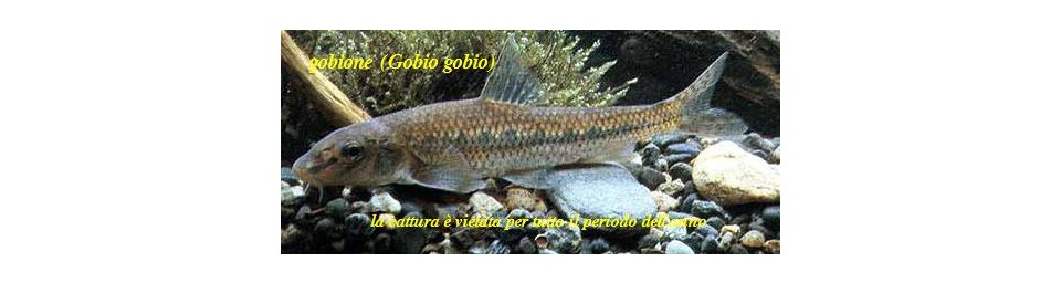 gobione-gobio-gobio.jpg