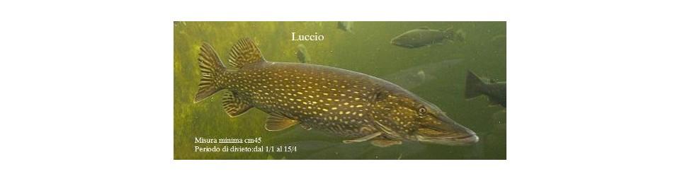 luccio-esox-lucius.jpg
